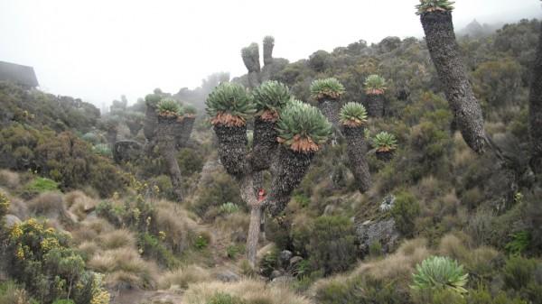 Дендросенеции (Dendrosenecio keniodendron)