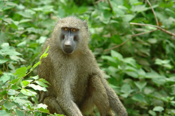 Бабуинов как только не называют: желтые павианы, собакоголовые обезьяны