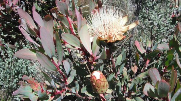 Протея килиманджарская (Protea kilimandscharica) семейство протейные