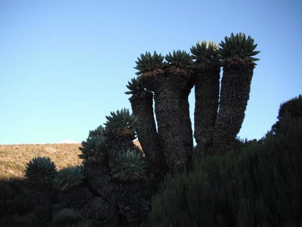 Сенеции Килиманджарские