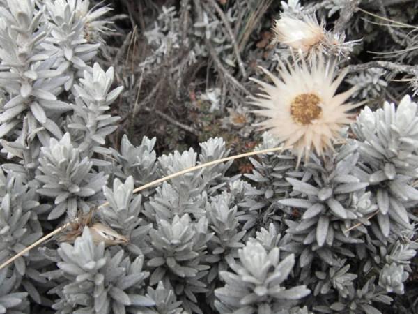 Бессмертник бессмертен и на 4 тыс. метров «На 4-х еще ботаника Но рифмы не ложаться в ряд  Стоебе Кали-МанджарИка Батаник нынче наблюдАт»