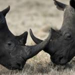 Черный носорог (Diceros bicornis)