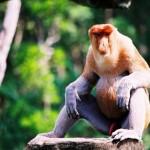 Пробоскис (носатая обезьяна) - эндемик Борнео